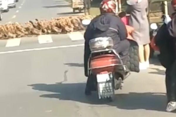 ВКитайской республике переходившие через дорогу 20 тыс. уток устроили пробку