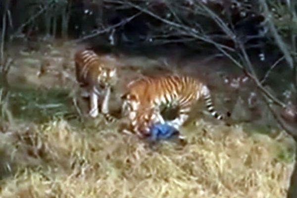 Тигр растерзал гостя зоопарка в КНР