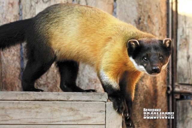 К8Марта вЕкатеринбургском зоопарке выбирают «Зоомисс— 2017»