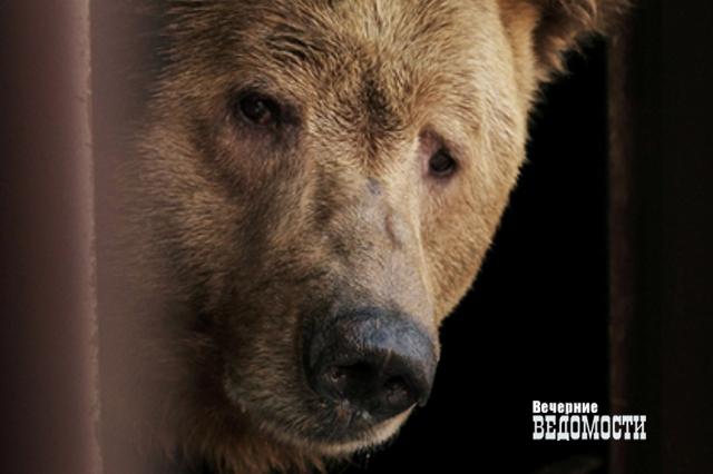 Первыми почуяли весну: вЕкатеринбургском зоопарке проснулись два медведя