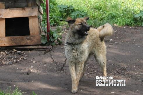 Собаками, терроризирующими уральцев, занялись следователи