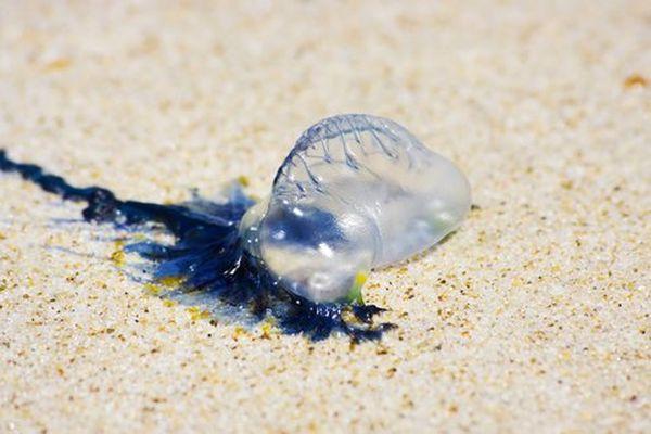 ВТаиланде напляжах острова Пхукет вновь появились ядовитые физалии