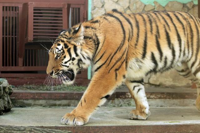 ВЕкатеринбургский зоопарк прибыл своенравный тигр Джагар