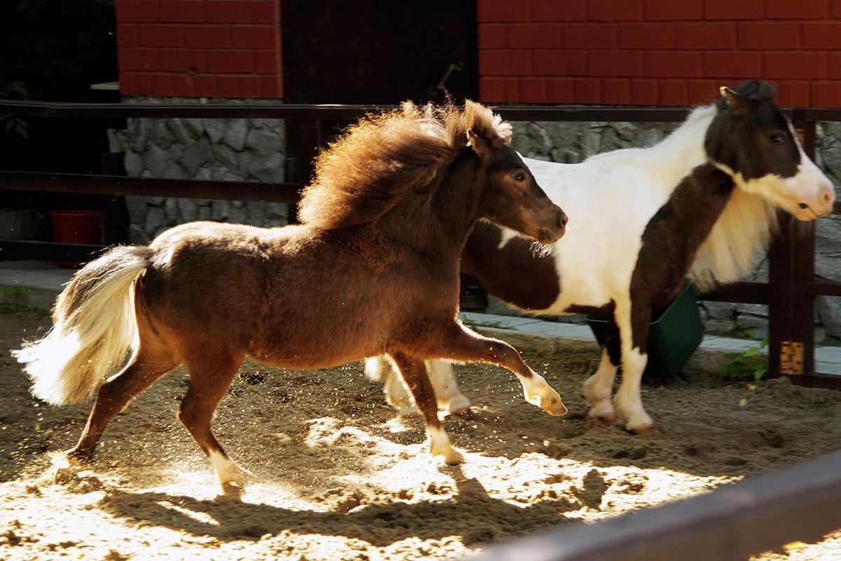 Векатеринбургский зоопарк привезли 2-х мини-лошадок