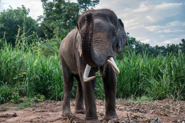 В Эфиопии слон пронзил бивнем испанского туриста