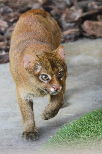 В Екатеринбургский зоопарк привезли двух экзотических кошек