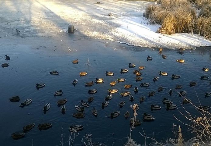 ВКургане зимующие утки могут остаться голодными после рекомендаций экологов