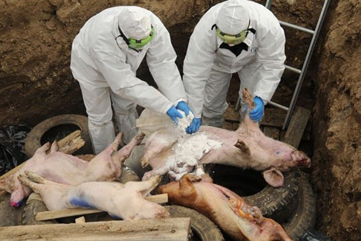 Заражённую африканской чумой свинину обнаружили напредприятиях Зауралья