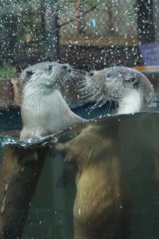 В Екатеринбургский зоопарк привезли двух речных выдр