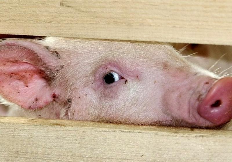 Карантин из-за африканской чумы свиней объявлен вСвердловской области