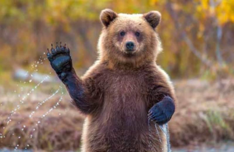 Готовятся к зиме: в Свердловской области участились случаи выходов медведей к населённым пунктам