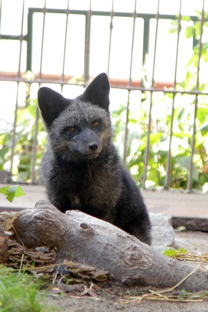 В Екатеринбургский зоопарк привезли чернобурого лиса