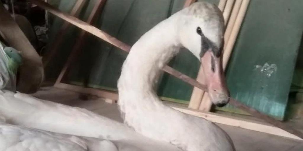 В Свердловской области охотничьи инспекторы спасли трех замерзших лебедей-шипунов