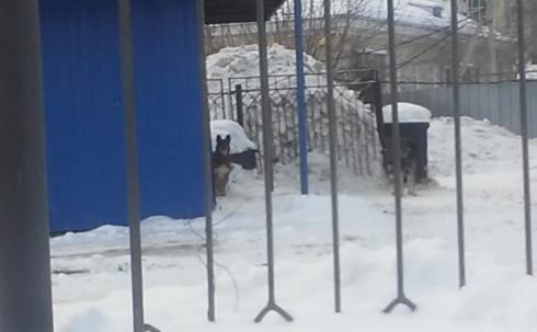 В Екатеринбурге на первоклассницу напала свора бродячих собак: искусали руку и загрызли той-терьера школьницы