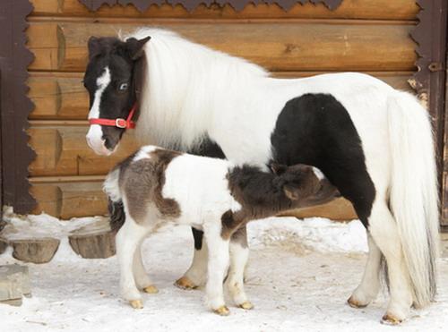 В Екатеринбургском зоопарке родился жеребенок Яшка