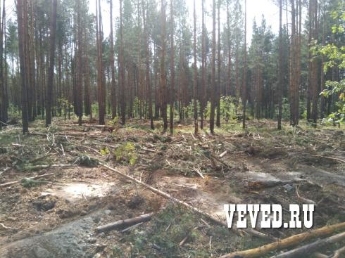 Лесорубы вновь начали валить лес у поселка под Екатеринбургом. Лесничество обратилось в полицию