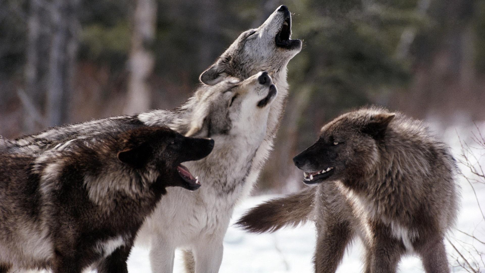 колесу картинки стай волков для рабочего стола вам фрау шмидт